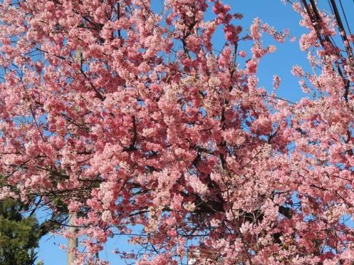 cerejeiras em flor anita garibaldi doris teixeira